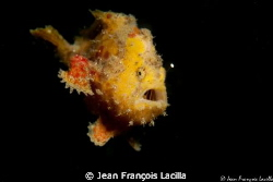 Small Frog fish Canon EOS 5 mark 2 ikelite housing 100 mm... by Jean Fran&#231;ois Lacilla 